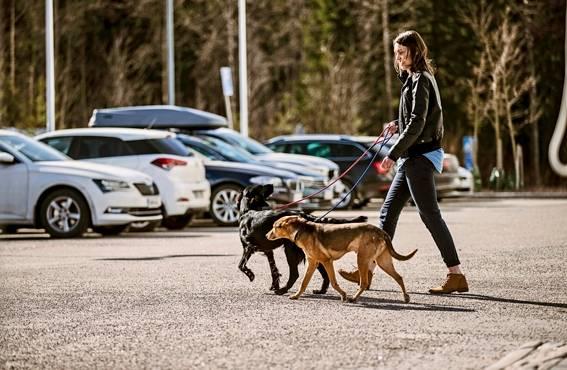 Turvallisuuspäällikkö Annika Kontinahon koirat Arttu ja Maya pääsevät toisinaan mukaan työmatkoille.